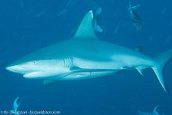 BD-130714-Maldives-0619-Carcharhinus-amblyrhynchos-(Bleeker.-1856)-[Grey-reef-shark.-Grå-revhaj].jpg